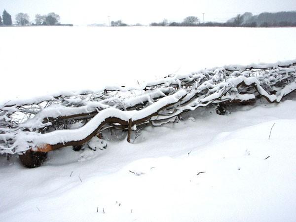 Countryside – Hedgelaying in Nedging Tye, Suffolk